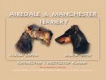 AIREDALE MANCHESTER TERRIERY - Katarzyna i Krzysztof Klama