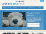 Labradoodle puppies for sale. Australian Labradoodles from Labradoodleland Auckland