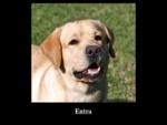 Allevamento di Cani Labrador a Como in Lombardia