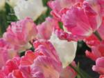 tulipany. pl - Specjalistyczne Gospodarstwo Ogrodnicze B. M. Szymanowscy