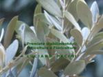 Pagina di Benvenuto - Vivai olivi Luciano Pacini - Orticoltura e floricoltura - Vivai olivi Pescia -